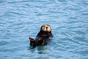 Another Cute Fluffy Sea Otter