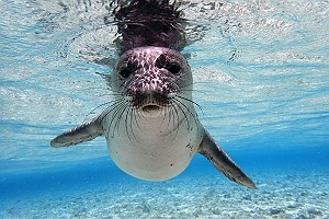 Young Monk Seal Underwater