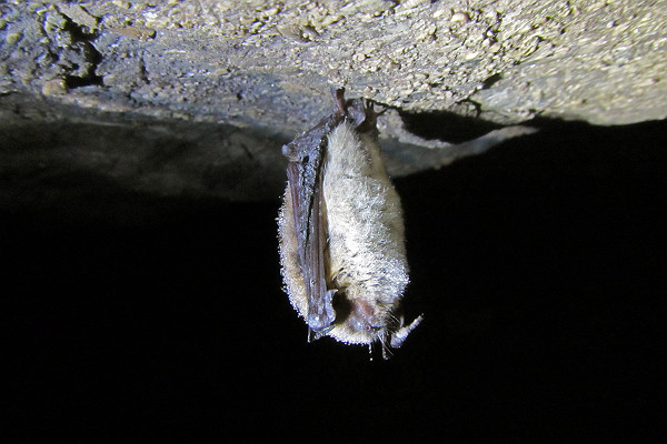 Brown Bat With White-Nose Syndrome