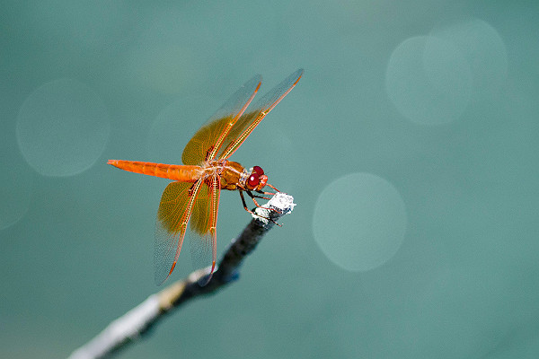 California Red Dragonfly