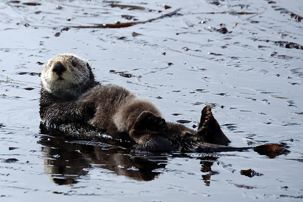 Cute Fluffy Sea Otter