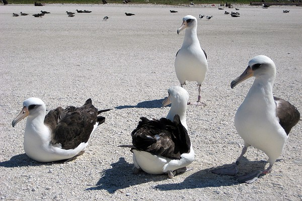 Laysan Albatross on Tern Island