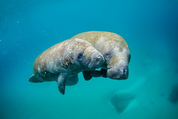 Mother Manatee and Calf