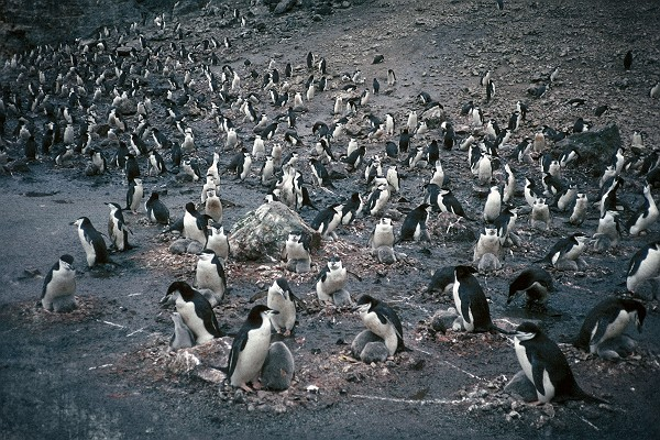 Vintage Chinstrap Penguin Colony