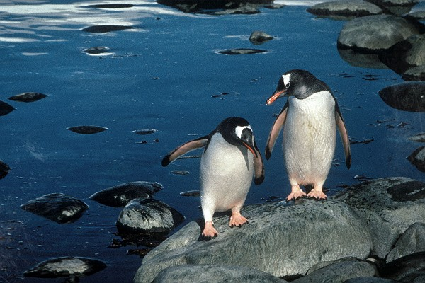 Vintage Gentoo Penguins on Seal Island