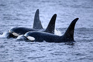 A Flotilla of Killer Whales or Orca