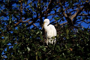 Cattle Egret in Australia