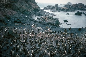 Chinstrap Penguin Colony on Seal Island