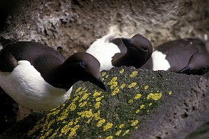 Common Murre in Pribilof Islands Alaska