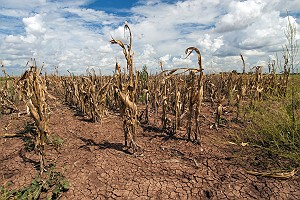 Drought Effect on Corn in Texas