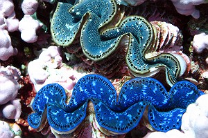 Giant Clams at Kingman Reef