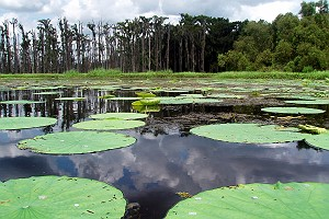 Invasive Lily Pads in Lake Penchant