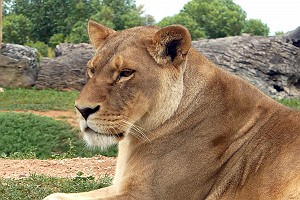 Lioness at Werribee Zoo