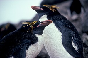 Macaroni Penguins at Seal Island