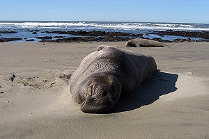 Male Elephant Seal at Ano Nuevo Island