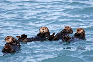 More Cute Fluffy Sea Otters