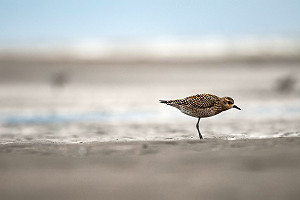 Pacific Golden-Plover near Big Creek Alaska