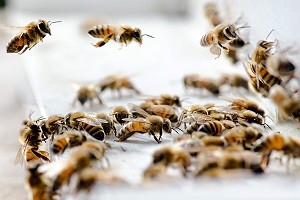 Returning Worker Honey Bees
