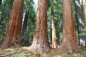 Sequoia Gigantea Trees