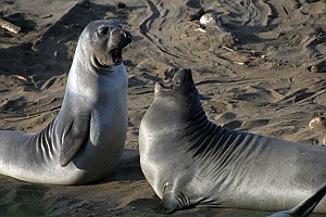 Two Elephant Seal Pups