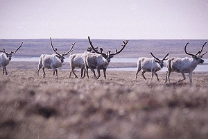 Vintage Herd of Caribou