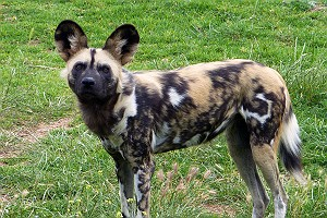 Wild Dog at Werribee Zoo